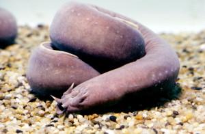 Pacific hagfish (Eptatretus stoutii). (KEYSTONE/SCIENCE PHOTO/Tom McHugh) === ===