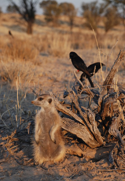 Täter und Opfer: Oft werden Erdmännchen von betrügerischen Wüstenvögeln um ihre Beute gebracht. (T. FLOWER)