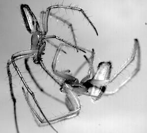 Radnetzspinnen bei der Paarung. (UNI GREIFSWALD)
