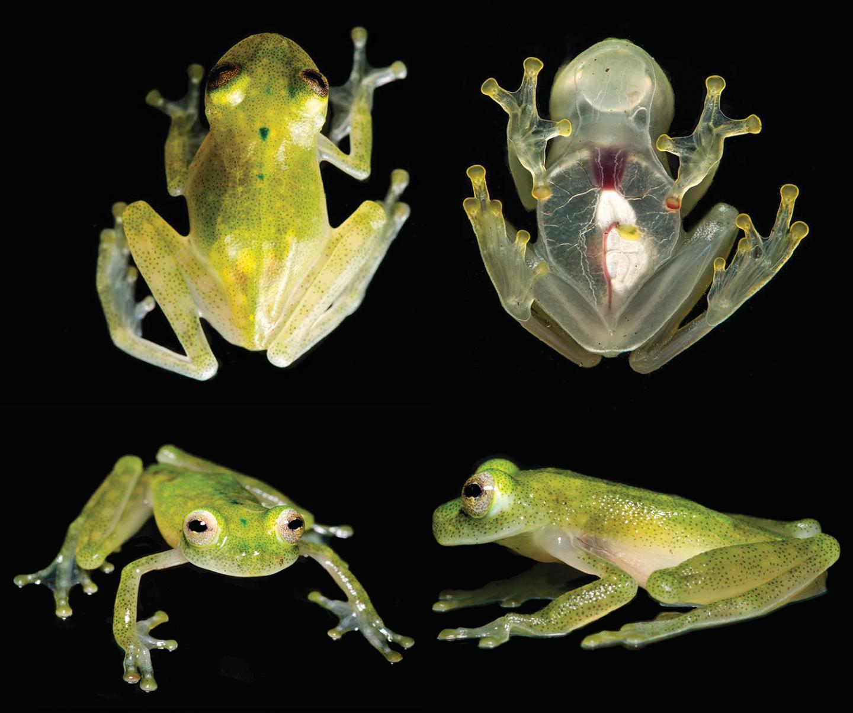 Froschart gewährt tiefe Einblicke