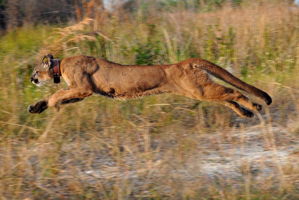 Wo dieser Florida-Puma hinrennt, zeigt der Funksender in seinem Halsband. Auf diese Weise überwachen Biologen die Raubkatze, die in den 1970er-Jahren fast ausgestorben wäre. Bild Alamy