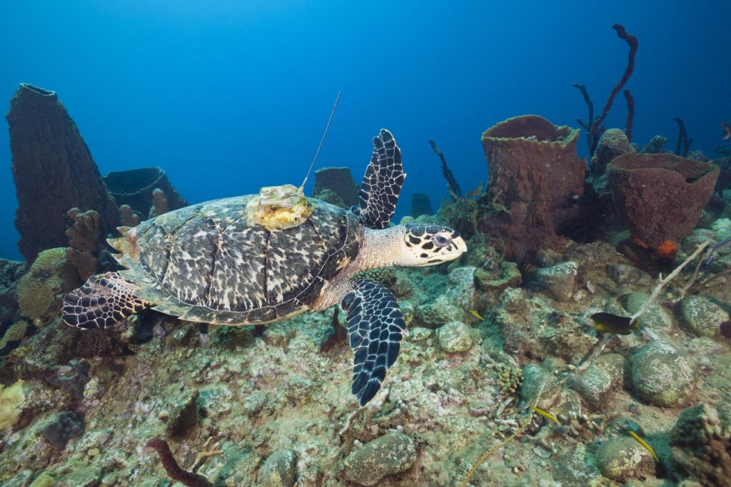 Auf Wanderschaft im Ozean: eine Echte Korettschildkröte mit Ortungsgerät. Bild Sciencephoto