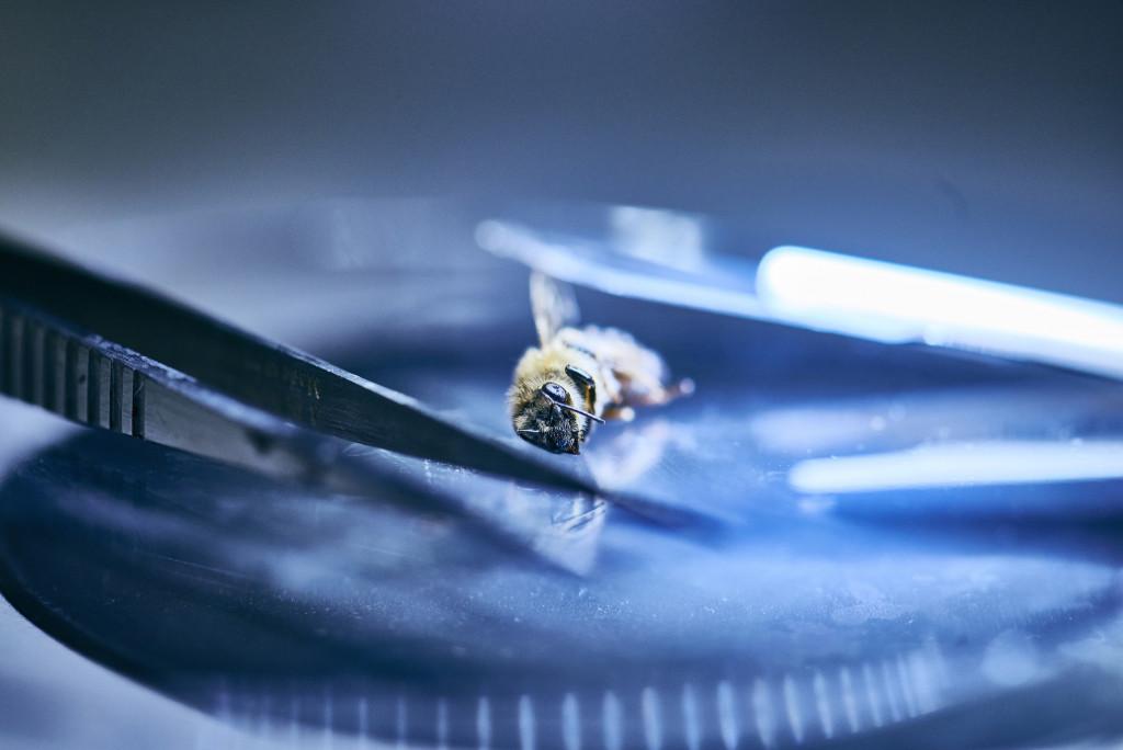 Ein Opfer für die Forschung: Die Untersuchung der Biene soll zeigen, ob sie durch Pestizide belastet war. - René Ruis