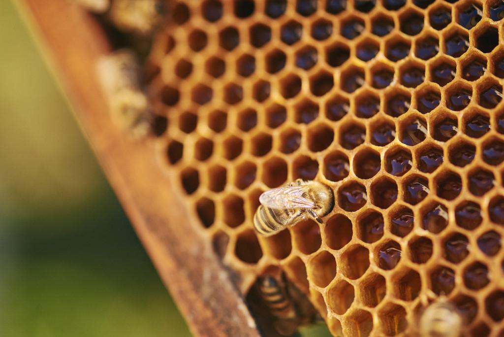 Eine Biene nascht vom selbst gemachten Honig – doch dieser ist häufig mit Pestiziden belastet.  - René Ruis