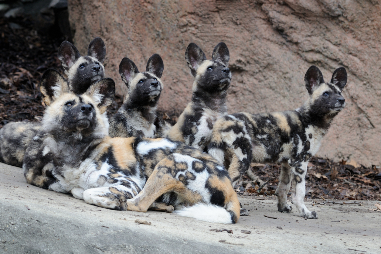 A family of African wild dogs (Lycaon pictus) looks overhead at flock of birds